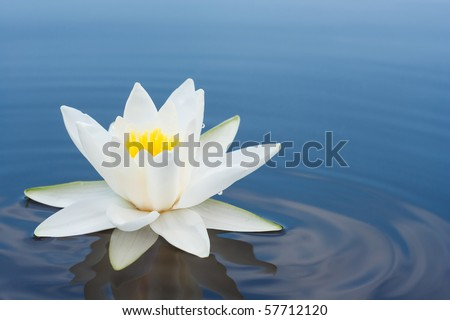 white lilly on lake