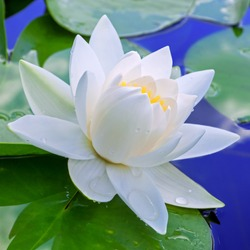 White lily against the blue water and green leaves