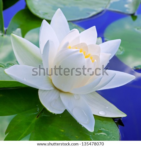 white lily against the blue...