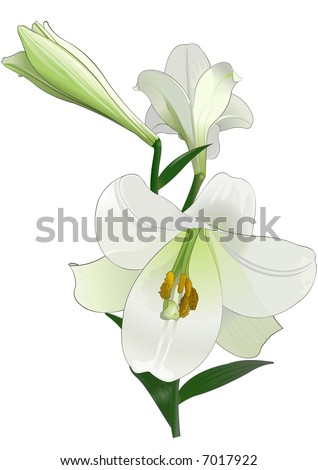 stock photo White lily Drawing