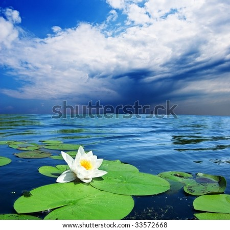 white lily floating in a lake