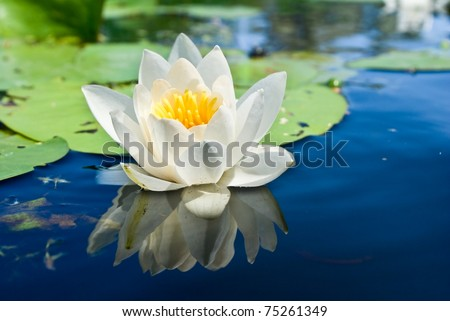 white lily floating on a blue water