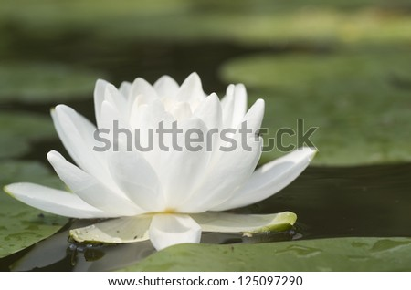 White Lily In Pond