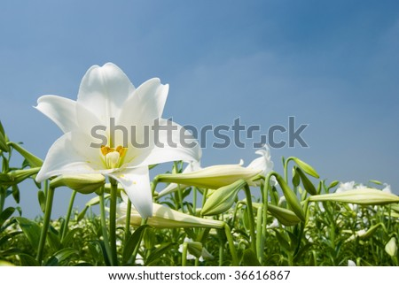 White lily in the field under blue sky