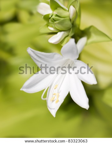 White lily on green background