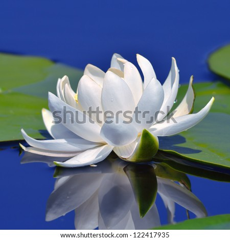 White lily on the lake against a blue water