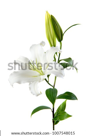 white lily on white background
