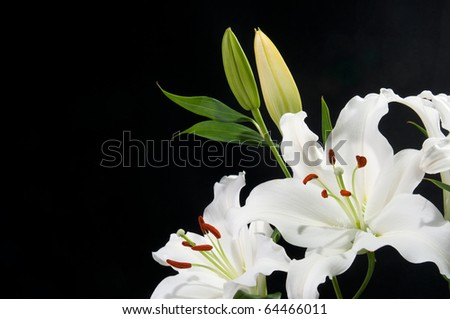 White Lily's with black background