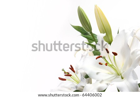 White Lily with a white background