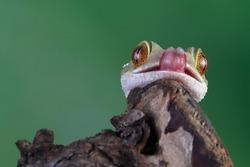White line gecko closeup face on wood, white line gecko lizard closeup