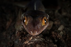 White line gecko closeup face on wood with black backgroud, white line gecko lizard closeup