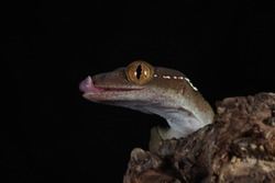 White line gecko closeup head on wood with black backgroud, white line gecko lizard closeup