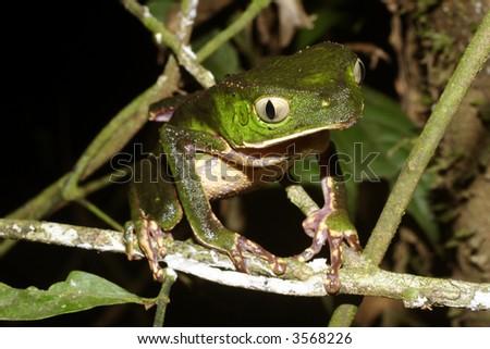 White-lined monkey frog (Phylomedusa vaillantii #3568226