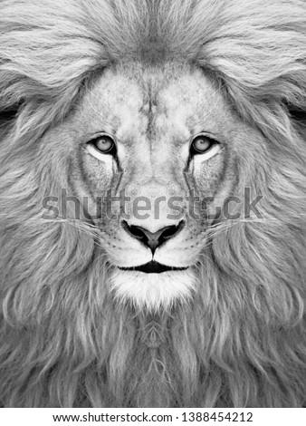 White Lion face wallpaper  Lion head  #1388454212