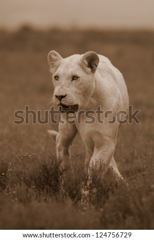 White lion in sepia,in her stride at Pumba game reserve South Africa.