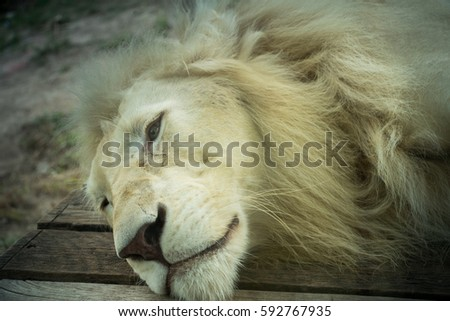 White lion ,It looked sadly #592767935