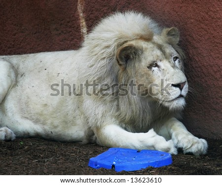 white lion laying against wall