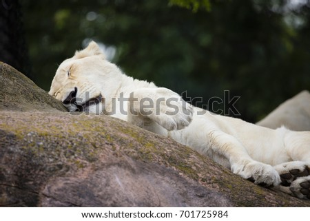 White Lion on a lazy summer day, resting. #701725984