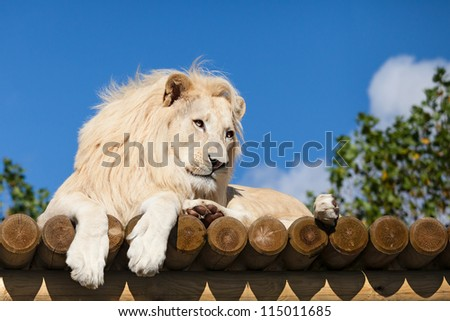 White Lion on Wooden Platform in the Sunshine Panthera Leo