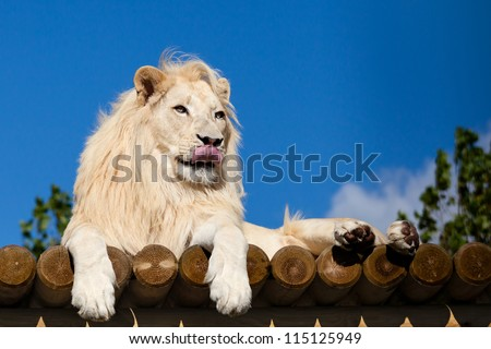 White Lion on Wooden Platform Licking Nose Panthera Leo