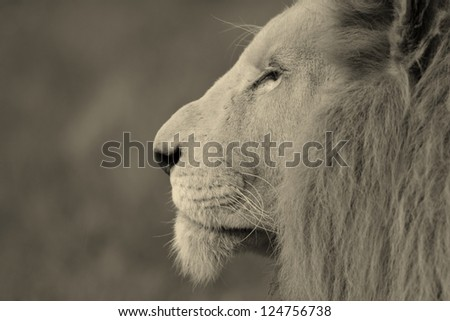 White lion portrait at Pumba game reserve South Africa.