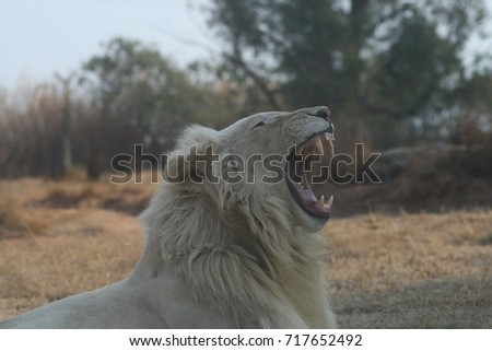 White Lion  Roaring #717652492