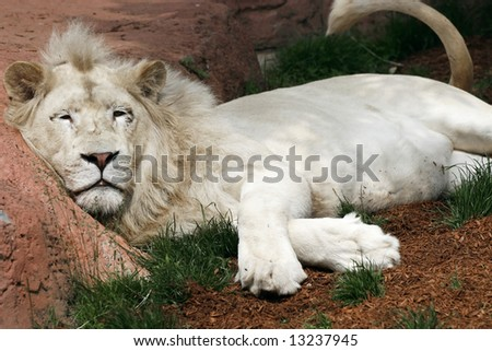 white lion sleeping against rock