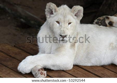 White lion with it's legs crossed in a casual pose