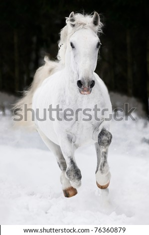 white Lipizzan horse runs gallop on the dark background