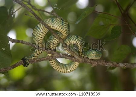 White-lipped pitviper, Bako National Park, Sarawak, Borneo, Malaysia