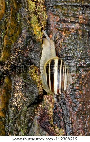white-lipped snail climbs tree - stock photo