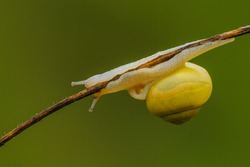 White lipped snail crawling on a stalk of dry grass, closeup. Isolated on a natural green background. Genus species Cepaea hortensis.