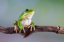White lipped tree frog on branch, tree frog on green leaves, animal closeup