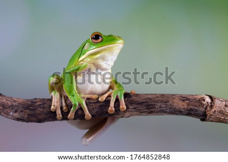 Photo of  White lipped tree frog on branch, tree frog on green leaves, animal closeup
