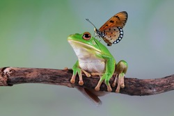 White lipped tree frog on branch with butterfly, tree frog on green leaves, animal closeup