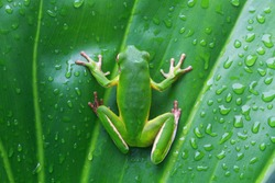 White lipped, tree frog on green leaves, tree frog
