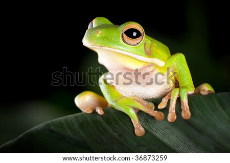 White-lipped tree frog or Litoria Infrafrenata sitting on a banana leaf