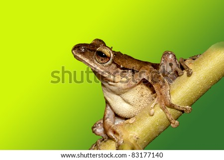 White lipped Tree Frog stay on branch in summer at night