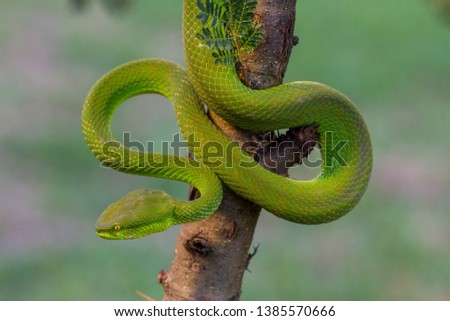 Stock Photo white lipped tree viper coiled and ready for attack