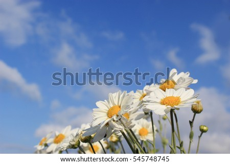 white little daisy flowers under the blue sky and clouds #545748745