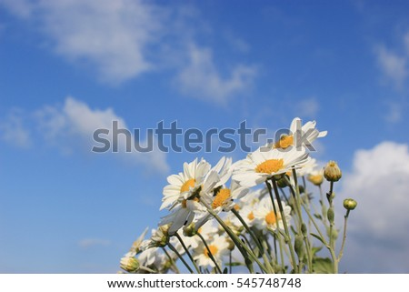white little daisy flowers under the blue sky and clouds #545748748