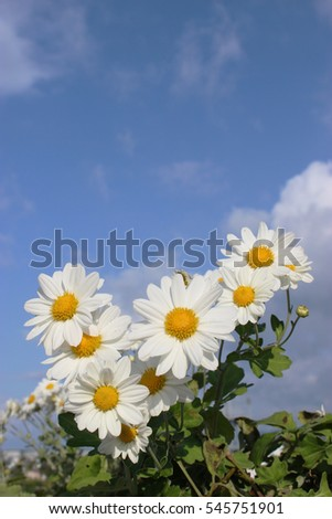 white little daisy flowers under the blue sky and clouds #545751901