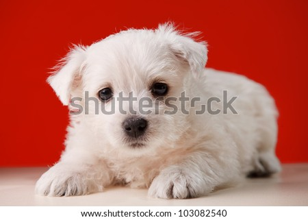 white little dog in red background