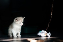 White little luminous kitten sadly looks longingly at a toy on a thread on a black background. Right empty space for text