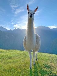 White Llama glama animal in green grass pasture Machu Picchu Andes mountain, Peru. Cute Lama in sunbeams of sun dawn, idyllic Peruvian Andean mountainous landscape, Adorable Llama camelids close up