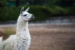 White llama (Lama glama) portrait.