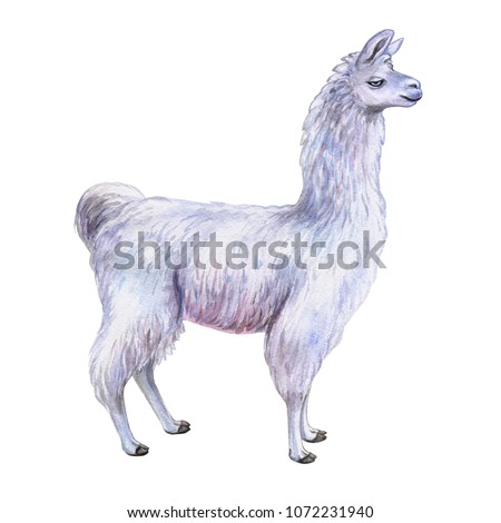 White Llama or alpaca. Hand-drawn watercolor illustration. Cute mammal animal painting isolated on white background. Template. Manual work. Close-up