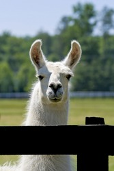 White llama standing at a fence line with an interested look.