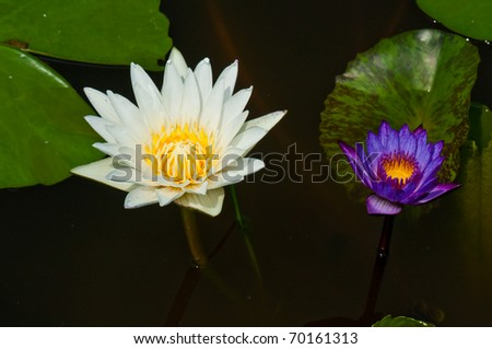 White lotus and violet lotus in the water, Thailand.