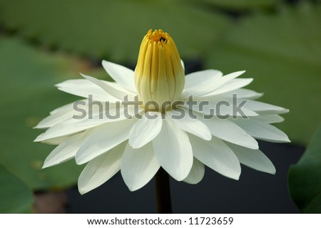 White Lotus Blooming